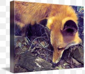 Watercolor Fox - Red Fox Fauna Wildlife Snout Fox News PNG