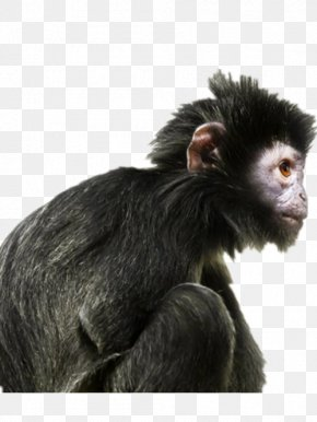 Black Gorilla - Ape Primate Human Evolution Gorilla PNG