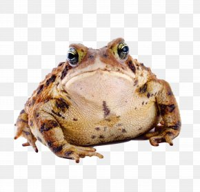 Frog - Frog Amphibian American Toad Cane Toad PNG