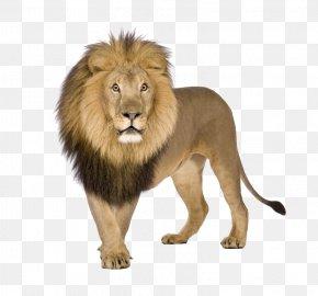 Lion - Lion Download PNG
