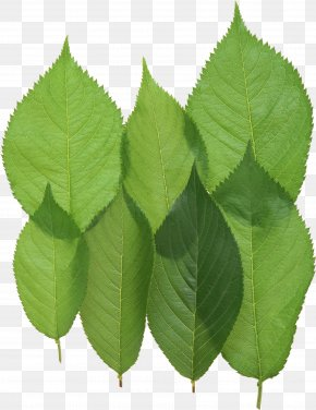 Green Leaf - Leaf Download PNG