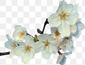 Flower - Cut Flowers Spring Blossom ST.AU.150 MIN.V.UNC.NR AD PNG