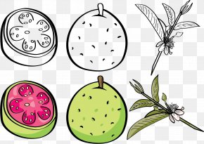 Vector Figs - Guava Euclidean Vector Fruit Clip Art PNG