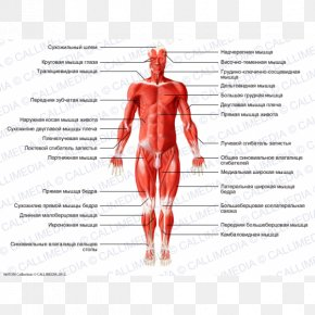 Rectus Femoris Function - Hip Gray's Anatomy Muscle Human Body PNG
