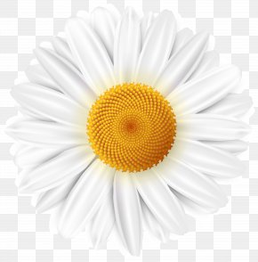 White Daisy Transparent Clip Art Image - Common Daisy Clip Art PNG