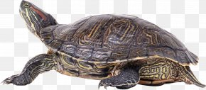 Turtle - Turtle Shell PNG