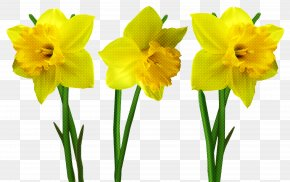 Amaryllis Belladonna Plant Stem - Flower Plant Yellow Petal Narcissus PNG