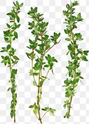 Parsley - Thymus Citriodorus Garden Thyme Irish Stew Herb Vegetable PNG