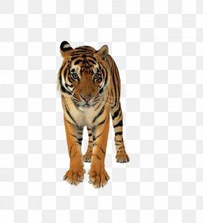 Ferocious Tiger - Lion Bengal Tiger Felidae Wedding Invitation Cat PNG