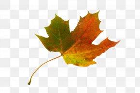 Maple Leaf - Red Maple Acer Circinatum Sycamore Maple Autumn Leaf Color PNG