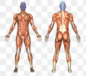 The Pleasing Muscles Of The Water - Muscular System Human Body Human Anatomy Muscle PNG