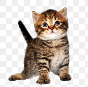 Cat - Cat Kitten PNG