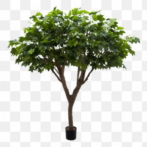 Tree - Plane Trees Benjamina Exotica Plants Dwarf Umbrella Tree PNG