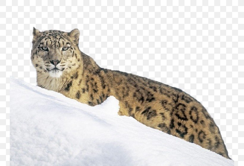 The Snow Leopard Tiger Wallpaper, PNG, 754x557px, Leopard, Animal, Big Cat, Big Cats, Carnivoran Download Free