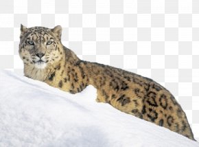 Snow Leopard On The Snow - The Snow Leopard Tiger Wallpaper PNG