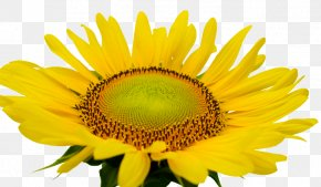 Sunshine Sunflower - Common Sunflower PNG