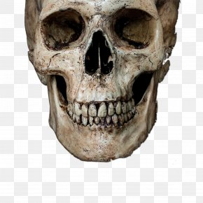 Skeleton Head - Skull Stock Photography Royalty-free Human Skeleton PNG