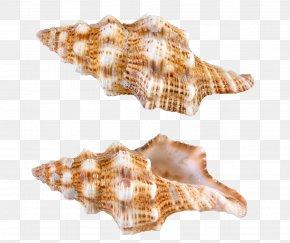 Transparent Sea Snail Shells Picture - Papua New Guinea Seashell Computer File PNG