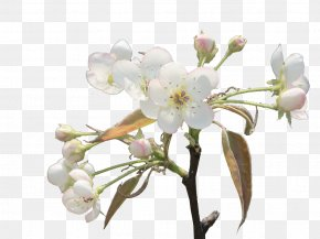 Branches Of Pear - Floral Design Spring Cut Flowers Cherry Blossom PNG