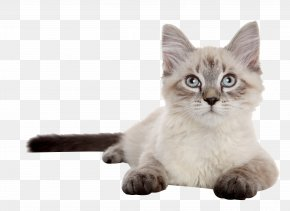 Tummy Siamese Cat - Siberian Cat Siamese Cat Kitten Dog Puppy PNG