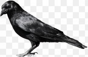 Crow Image - American Crow Common Raven Fish Crow Clip Art PNG