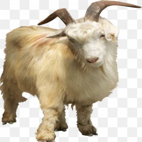 Dwarf Goats - Nigerian Dwarf Goat Pygmy Goat Feral Goat PNG