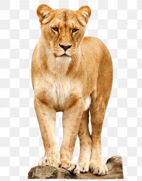 Lion - Lion Desktop Wallpaper PNG