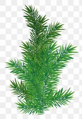 Pine Branch Picture - Tree Branch Scots Pine PNG