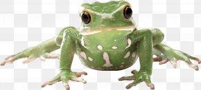 Frog Image - Frog Amphibian PNG