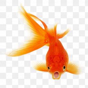 Goldfish - Fantail Comet Black Telescope Fish Clip Art PNG