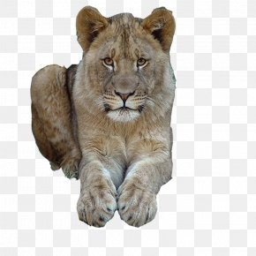 Cat - East African Lion Cat Tiger Felidae Mammal PNG