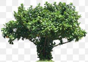 Shrubs - Tree Plant Shrub Plectranthus Scutellarioides PNG
