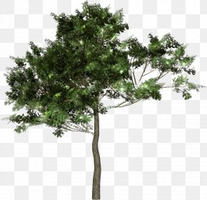 Tree - Tree Forest Woody Plant Clip Art PNG