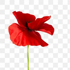 Red Flower - Common Poppy Opium Poppy Hibiscus Red PNG