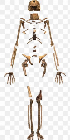 Skeleton - Skeleton Homo Sapiens Human Body Bone PNG