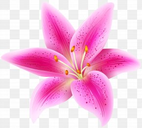 Pink Lily Flower Transparent PNG Clip Art Image - Lilium 'Stargazer' Pink Flower Clip Art PNG