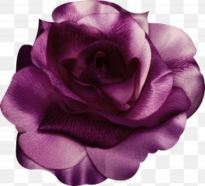 Purple Rose - Garden Roses Centifolia Roses Beach Rose Violet Purple PNG