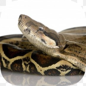 Snake - Snake Constriction Boa Constrictor Imperator UGRodents Stock Photography PNG