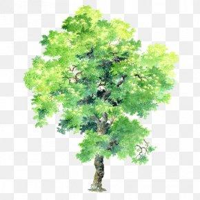 Vector Big-leaf Acacia Tree Free Buckle Material - Plant Tree Bauhinia Variegata Bauhinia × Blakeana PNG