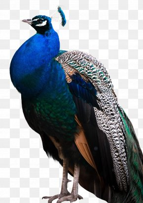Peacock - Peafowl Bird PNG