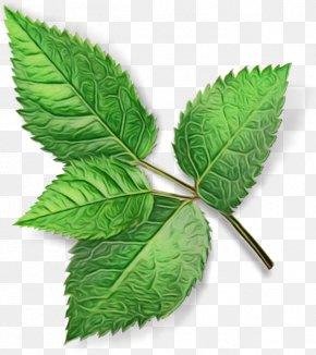Nettle Family Swamp Birch - Leaf Plant Flower Slippery Elm Tree PNG