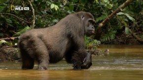 Gorilla - Western Gorilla Primate King Kong Baboons Wildlife PNG