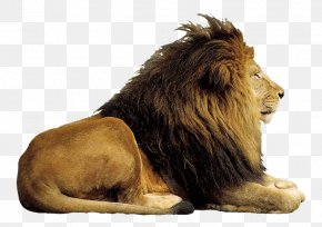 Prairie Lion King - Lion Computer File PNG