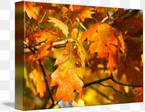 Leaf - Maple Leaf Gallery Wrap Canvas Art Printmaking PNG