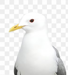 Great Blackbacked Gull Seabird - Bird Beak White Western Gull Gull PNG
