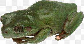 Frog - American Bullfrog True Frog Toad Tree Frog PNG