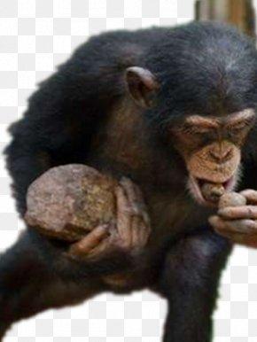 Eating Gorilla - Common Chimpanzee Kibale National Park Western Gorilla Primate Monkey PNG