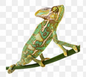 Green Chameleon - Common Chameleon Veiled Chameleon Lizard Panther Chameleon Parsons Chameleon PNG