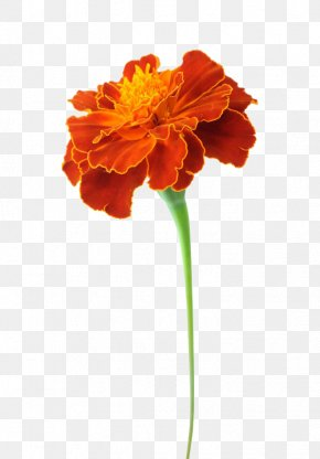 A Marigold Dipping Material - Mexican Marigold Tagetes Lucida Flower Calendula Officinalis Chrysanthemum PNG