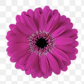 African Daisy Plant - Barberton Daisy Gerbera Flower Violet Petal PNG